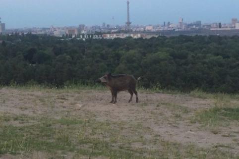 Sau auf dem Teufelsberg mit Funkturm im Hintergrund