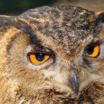 owl-829994_640